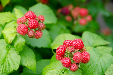 Raspberry-plants-GettyImages-488589631-5870207f5f9b584db3814ed7