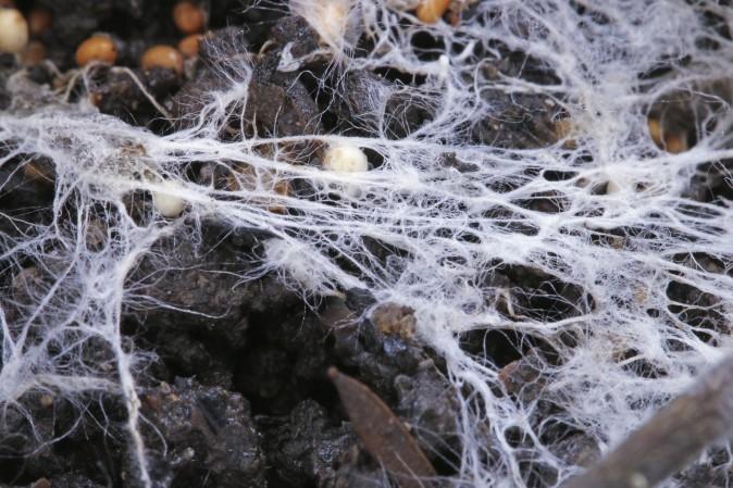 white rot fungus
